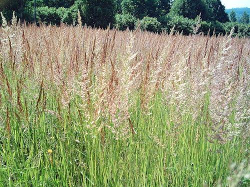 Поллиноз - аллергическая реакция на пыльцу
