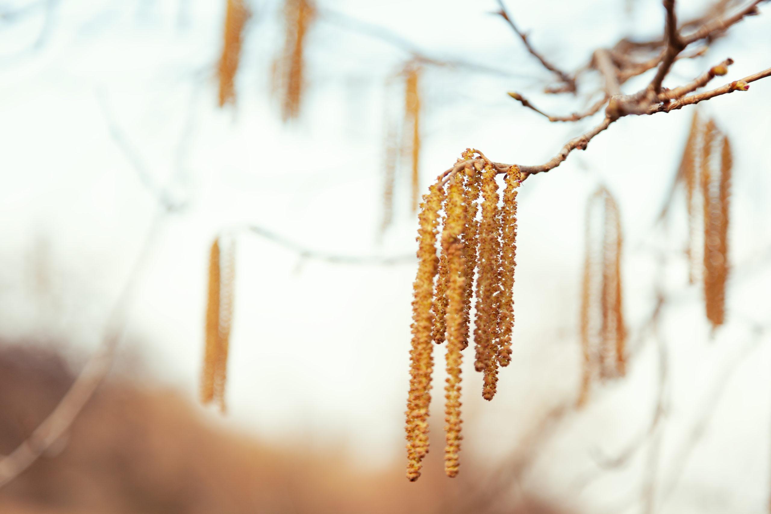 сережки ольхи на ветке