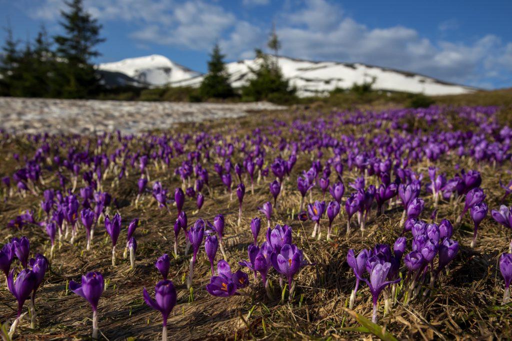 цветение крокусов весной в горах