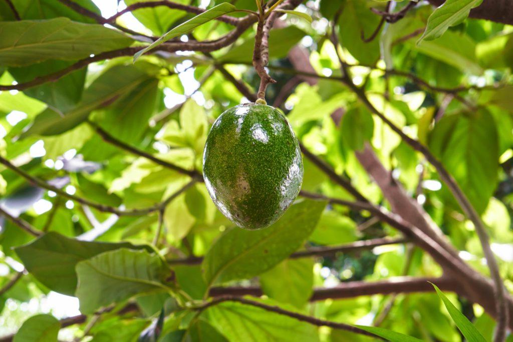Авокадо, изолированные на дереве в естественном саду